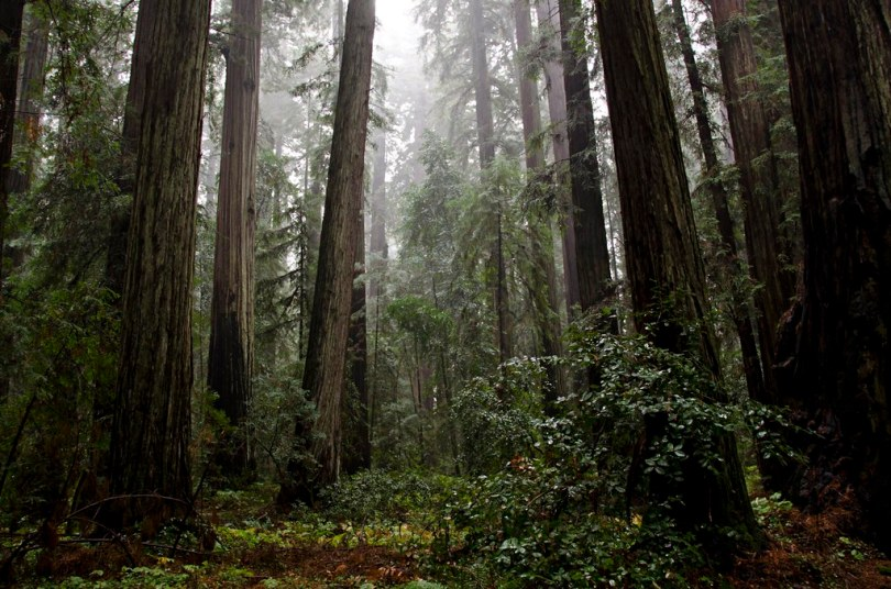 Misty Redwood grove, Hendy Woods State Park