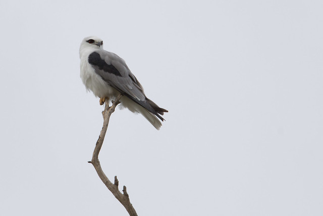 Black-shouldered Kite 2012-03-25 (_MG_5058)