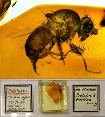 Baltic amber (40-50 MYO) - an small rare fly (Odiniidae, Protodinia electrica Henning) Holotypus