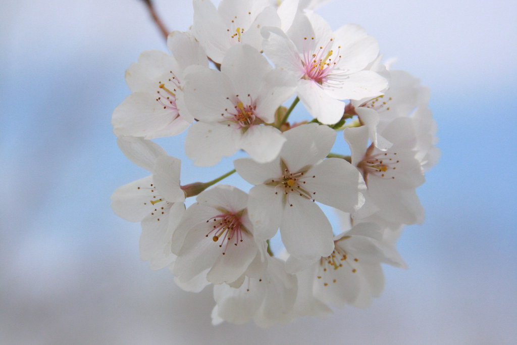 Cherry Blossoms - A Close Up