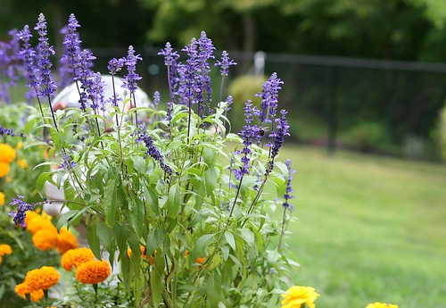 Garden photograph; marigolds, salvia. Copyright Jen Baker/Liberty Images; all rights reserved.