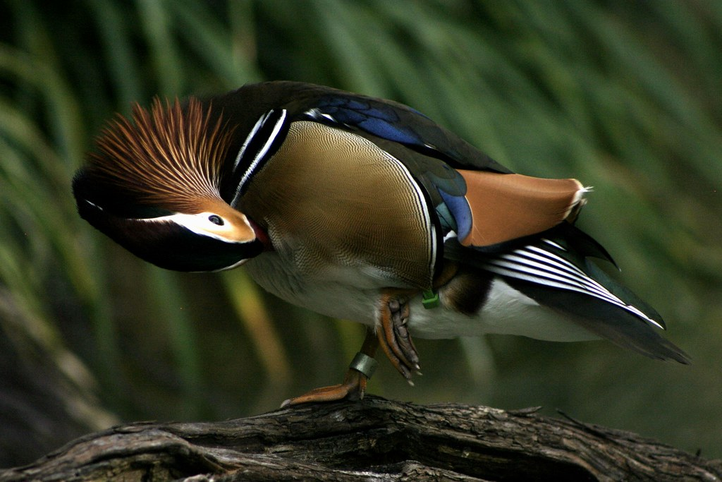 Mandarin Duck 4