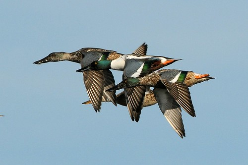 Northern Shovelers In Flight by harmonica pete, on Flickr
