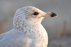 Bird - Seagull enjoying the sunset