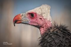 White-headed Vulture I (Trigonoceps occipitalis) (Explore Jan 10, 2012 #292)
