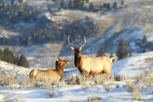 Bull and cow elk
