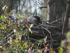 Bald Eaglet first image 20120202