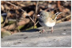 Bird - Junco