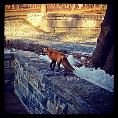 Handsome fox hunting for mid-morning snack. Gr...
