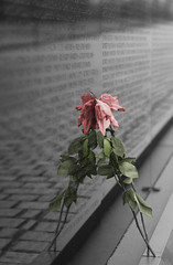 Soft colored rose on vietnam wall