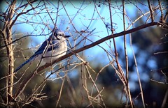 Bird - Blue Jay