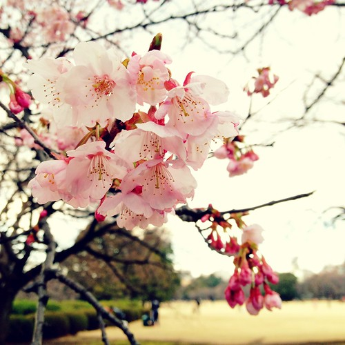 Cherry Blossoms in Shinjuku Gyoen Park