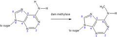 Adenine methylation