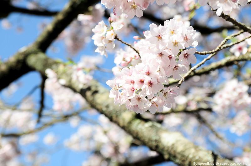 阿里山櫻花季85