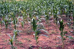 Maize plants in maize field