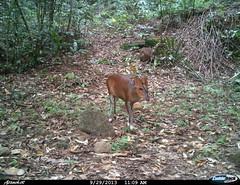 "barking deer4 BK-29 • <a style=""font-size:0.8em;"" href=""http://www.flickr.com/photos/109145777@N03/13794598955/"" target=""_blank"">View on Flickr</a>"