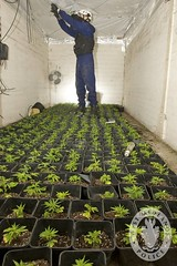 Day 46 - West Midlands Police - Cannabis Drugs...