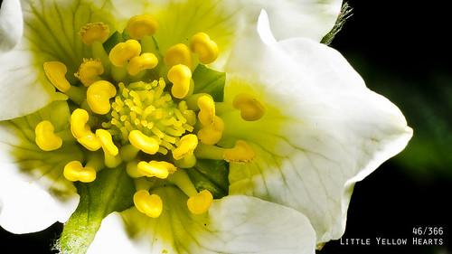 Little Yellow Hearts