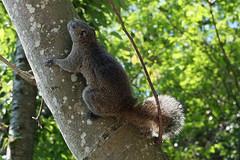 江の島のタイワンリス(Squirrel at Enoshima, Kanagawa, Japan)