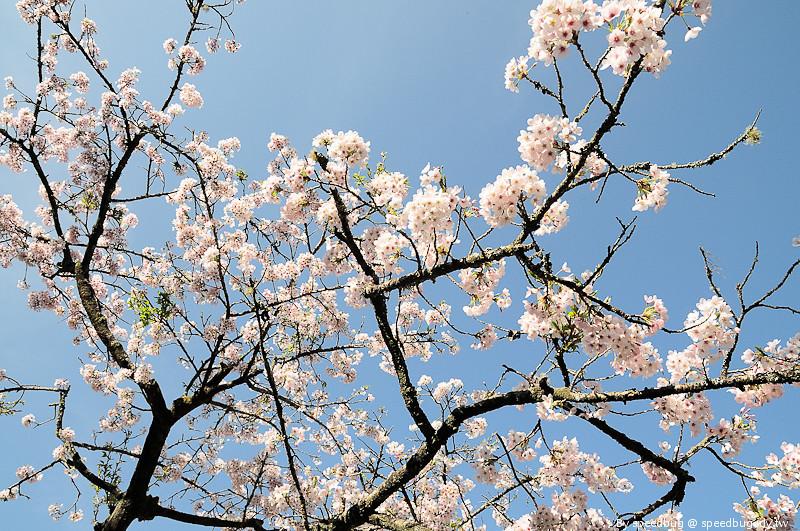 阿里山櫻花季72