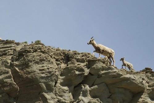 bighorn sheep on cliff
