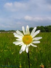 Daisy in Meadow