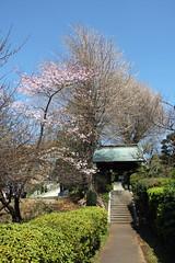 西勝寺の桜(Cherry Blossoms at Saisho Temple, Yokohama, Japan, 2011)
