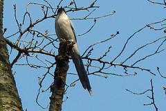 獅子ヶ谷市民の森のオナガ(Azure-winged Magpie at Shishigaya Community Woods)