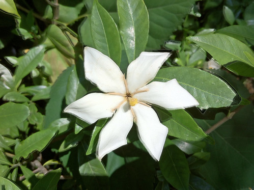 青山霊園のクチナシ(Common gardenia at Aoyama cemetery)
