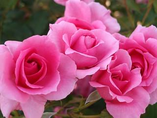 Rose,Country Dancer,バラ,カントリー ダンサー,