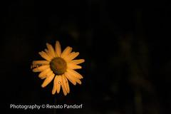 Daisy in the night