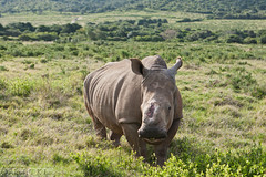 kariega-game-reserve-white-rhino-thandi-ef-24-...