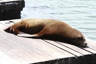 Seal sunbathing at Pier 39