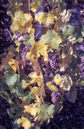 vinhøst 88 2