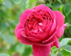Rose The Dark Lady バラ ザ・ダークレディ