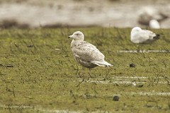 "Glaucous Gull, Hayle Estuary, 21.04.14 (A.Hugo) • <a style=""font-size:0.8em;"" href=""http://www.flickr.com/photos/30837261@N07/13971381143/"" target=""_blank"">View on Flickr</a>"