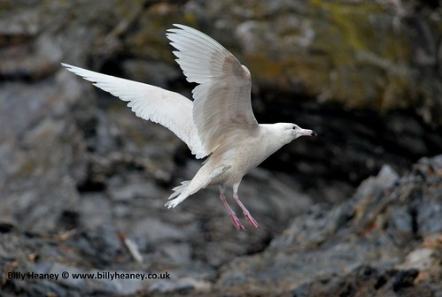 """Glaucous Gull, Falmouth,01:03:14 (B.Heaney) • <a style=""""font-size:0.8em;"""" href=""""http://www.flickr.com/photos/30837261@N07/13851797254/"""" target=""""_blank"""">View on Flickr</a>"""