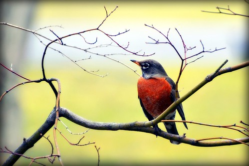 Sure sign of Spring - Robin - Bird