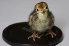itty bitty baby quail
