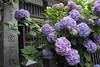 Photo:紫陽花 By
