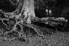 Derwentwater Roots