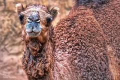 Dromedario (Camelus dromedarius)