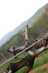 Bud break 2012 Cabernet Sauvignon