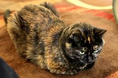 Tortiecat