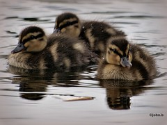 The-3-Ducklets!!