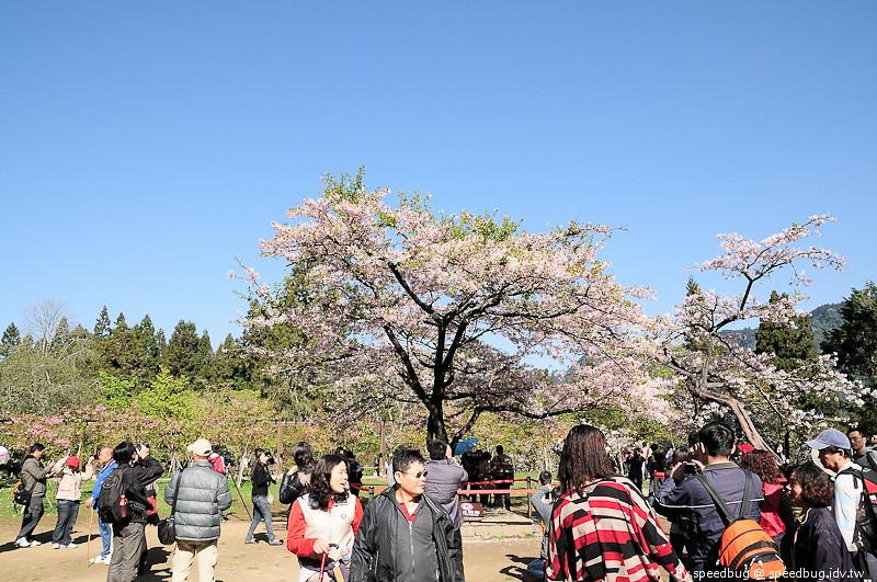 阿里山櫻花季92