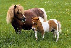 Falabella-Miniature-Horse