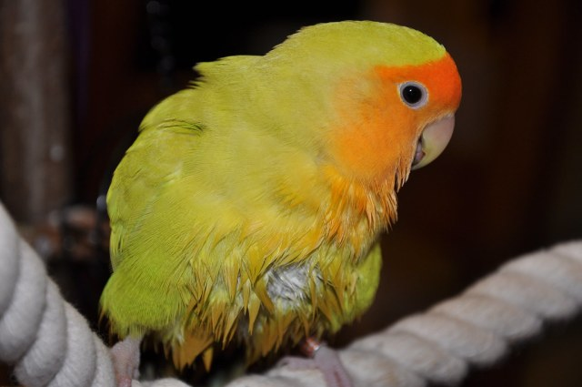 Pitchou Lesliechou Tags Bird Lovebird Oiseau Inseparable