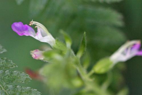 三保市民の森のシソ科?の花