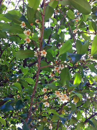 青山霊園の木の花(Flower of unknown tree at Yokohama, Japan)